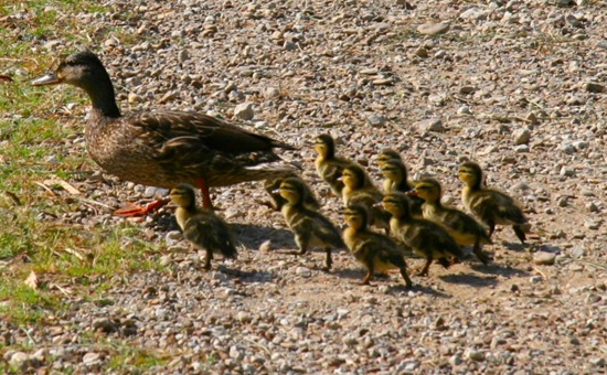 mother-duck-and-ducklings2d